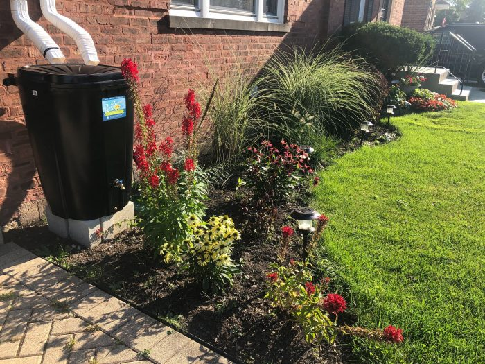 A residential native plant garden at the edge of a lawn. A rain barrel with a connected down spout flanks the garden.